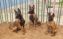 כלבות מזן מלינואה לאימוץ