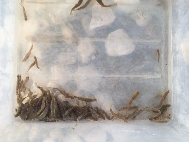 דגי הבינון רגע לפני שחרורם לנחל המלאכותי. צילום: רשות הטבע והגנים