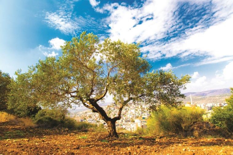 פסטיבל ימי ענף הזית. צילום: סאלח דאקסה