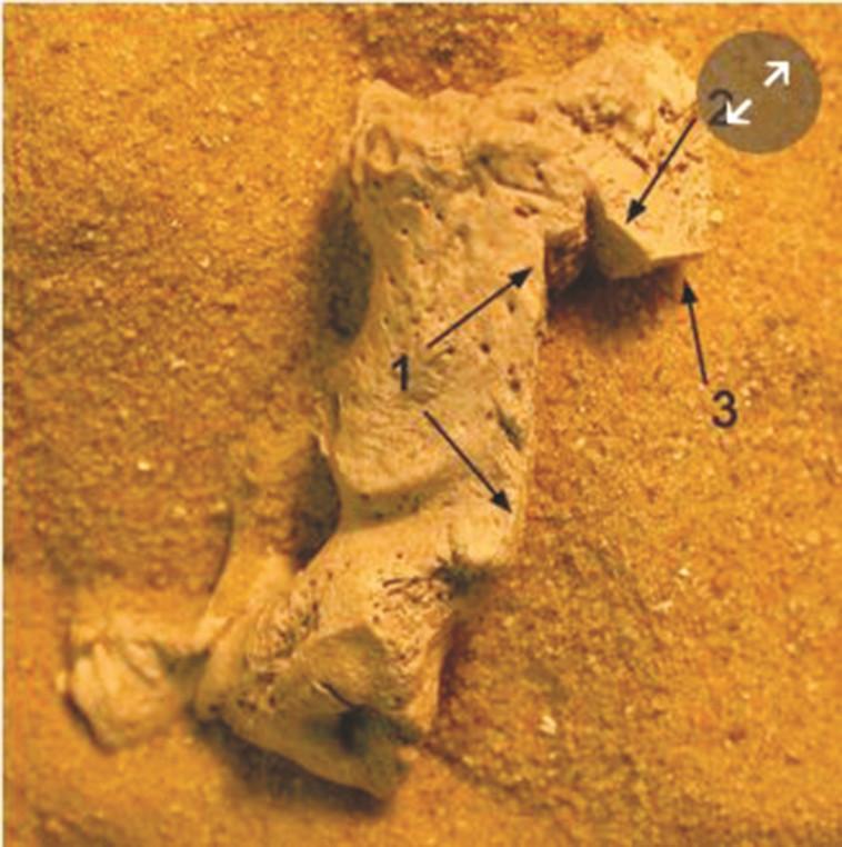 """סימני השחתה על עצמות בוורהאם פרסי, צילום: אנגליה העתיקה, יח""""צ"""