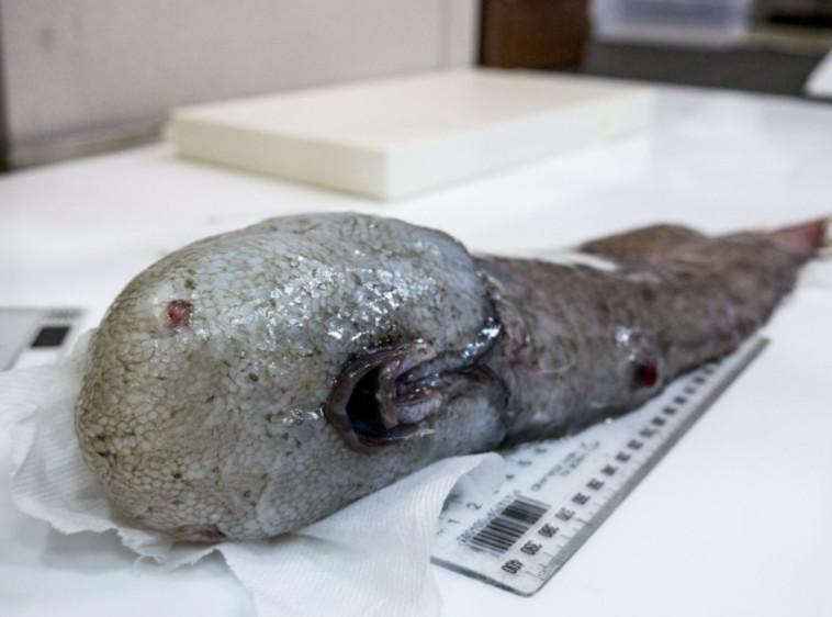 הגפילטע פיש הכי מוזר בעולם. צילום מסך
