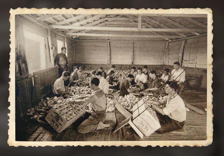 אריזת תפוחי זהב בבית ספר במקווה ישראל. צילום: מירי צחי