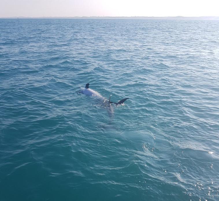 דולפינים בסמוך לחופי ישראל. צילום: נחשון עבודות ימיות