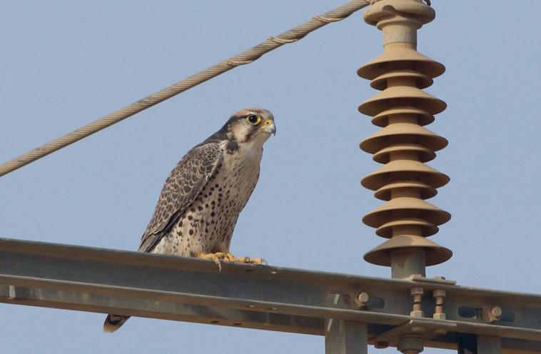 בז צוקים. צילום: מידד גורן, החברה להגנת הטבע