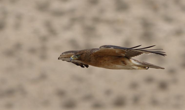 עיט ניצי. צילום: מידד גורן, החברה להגנת הטבע