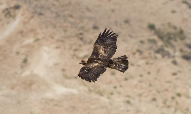 עיט זהוב. צילום: מידד גורן, החברה להגנת הטבע
