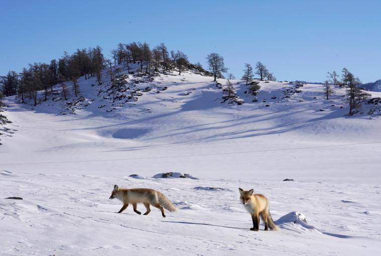 שועלים משחקים בשלג בהרי אלטאי בסין. צילום: רוסיה