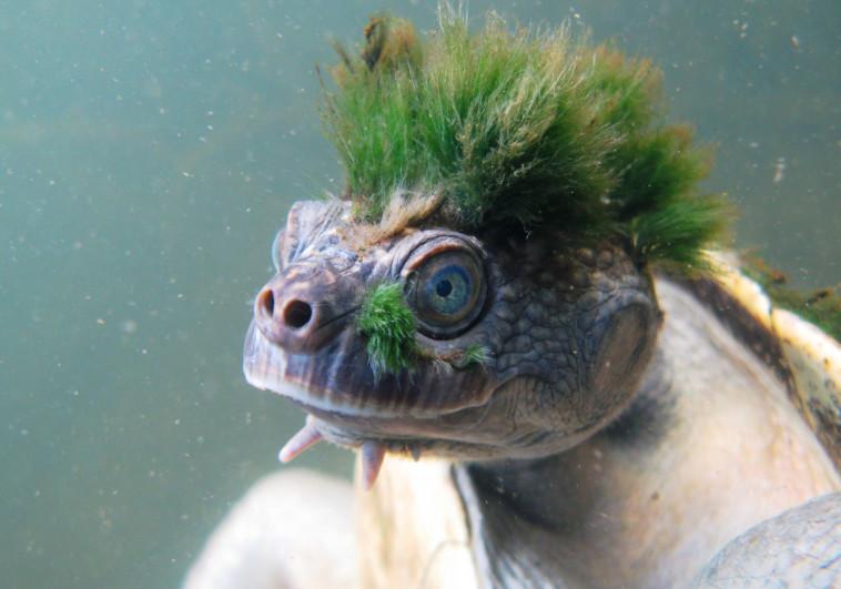 מסוגל לנשום דרך איברי המין שלו תחת המים. צב נהר מארי