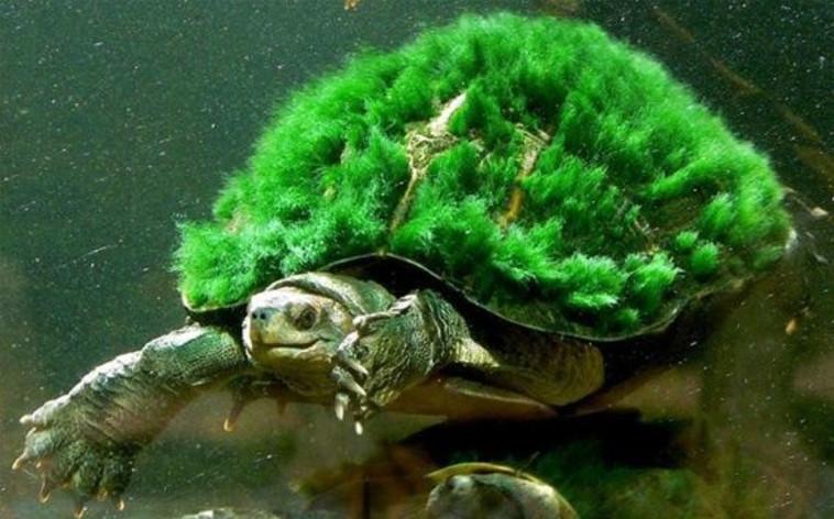 היצור המיוחד נמצא בסכנת הכחדה ועלול להיעלם מהעולם. בתמונה: צב נהר מארי
