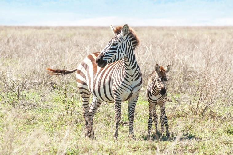 זברות בטנזניה. צילום: אינג'אימג'