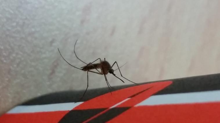 יתוש הקולקס, קדחת הנילוס. צילום: הדר סבטי, רשות הטבע והגנים