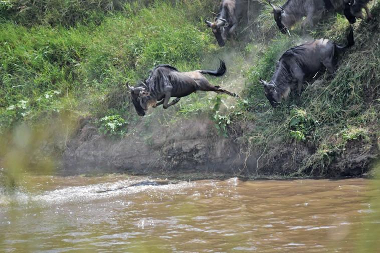 גנו קופץ ראש לנהר המארה. צילום: מקסי