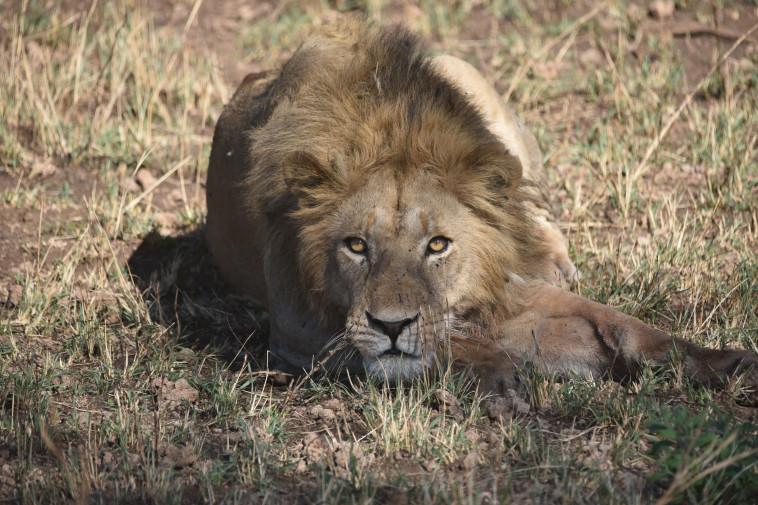 מלך הג'ונגל. צילום: מקסי