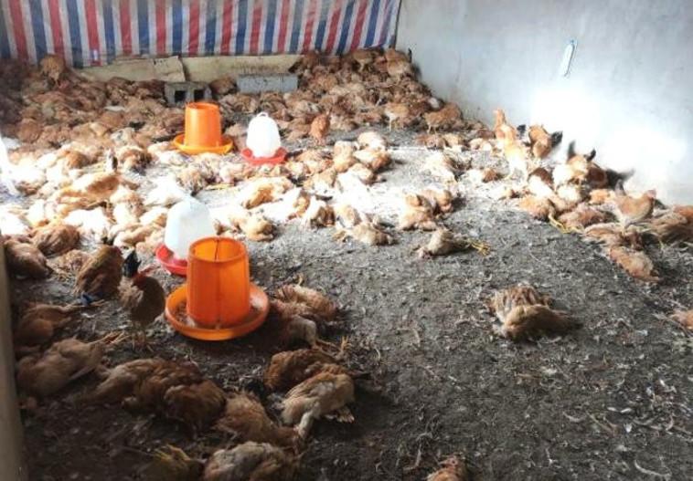 חיסל מאות תרנגולות בלילה אחד. צילום מסך: כלי התקשורת בסין