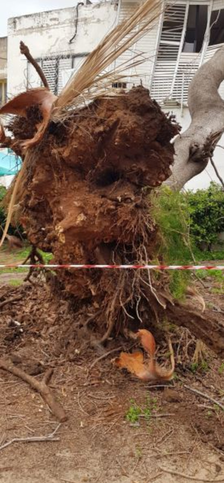 העץ שקרס בגבעתיים. צילום: עיריית גבעתיים