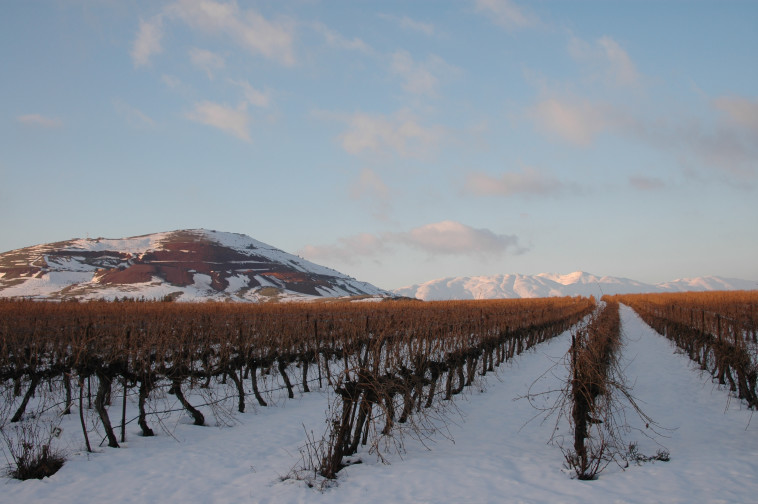 כרמי יקב רמת הגולן בשלג (צילום: רינה נגילה)