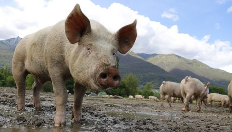 חזירים (צילום: Pixabay)