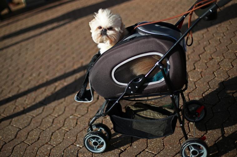 כלבלב מגיע לתצוגת כלבים בבריטניה (צילום: רויטרס)