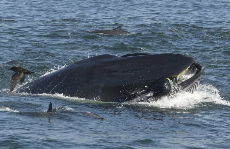 Barcroft Animals /שימף בתוך הפה של הלוויתן. צילום: יוטיוב