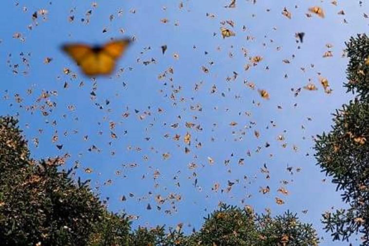 פרפרים מזן נימפיות החורשף בדרכם לאירופה. צילום: מחמוד נאסר, רשות הטבע והגנים