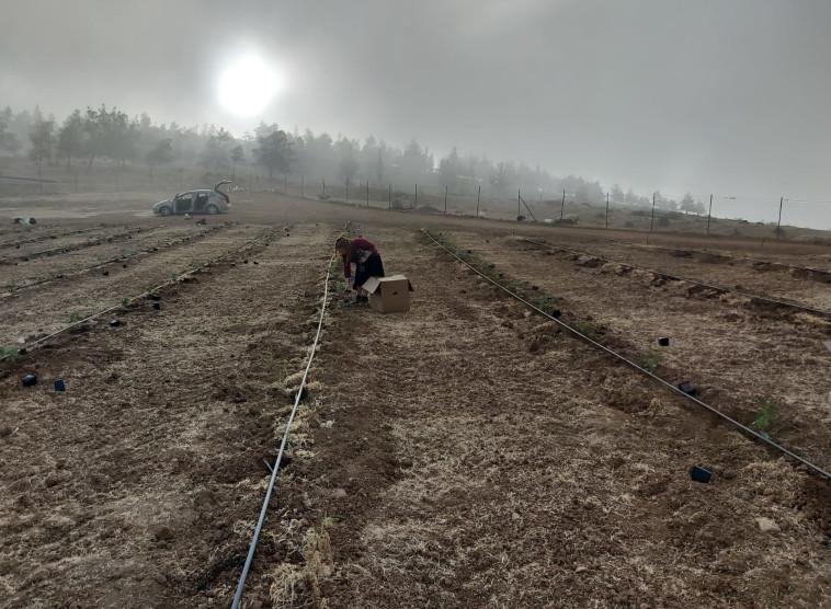 נטיעות כרם חדש ביקב יתיר (צילום: יח''צ יקב יתיר)