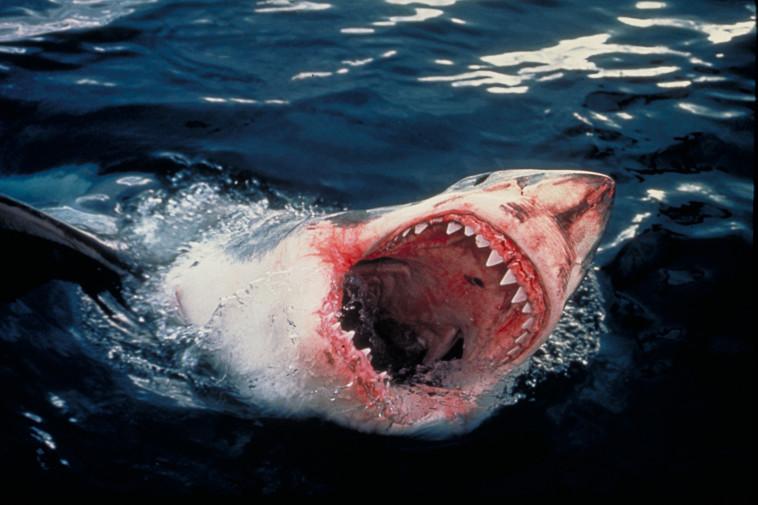 כריש. עמוס נחום,באדיבות הוט 8
