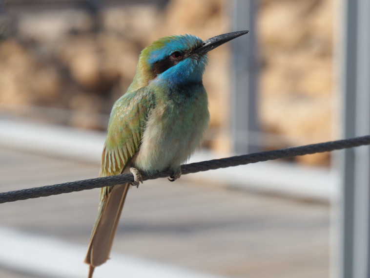 שרקרק גמדי בקומארן (צילום: דן פרקש - רשות הטבע והגנים )