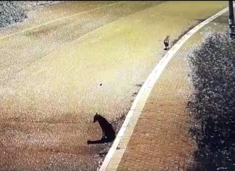 זאבים לחופי הכנרת  (צילום: אריק טל - רשות הכנרת )