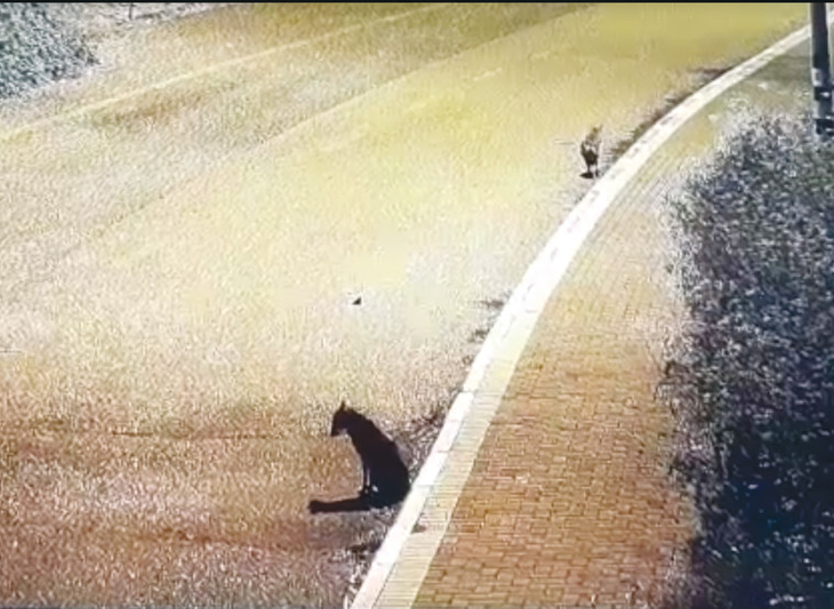 זאבים בחוף כורסי בכנרת (צילום: אריק טל - רשות הכנרת )