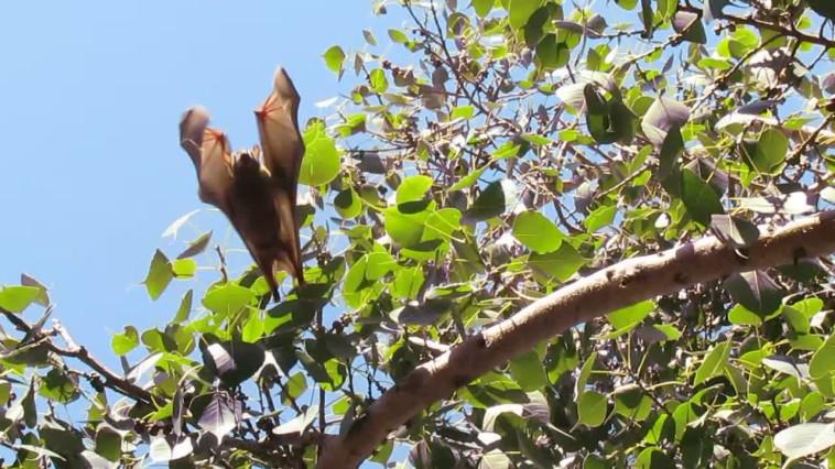 עטלף פירות (צילום: נתן זהבי)