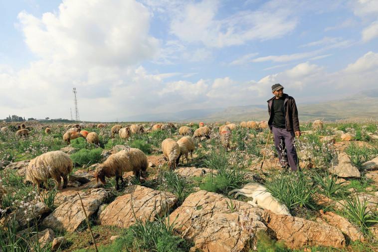 החזית המזרחית התפוגגה. רועה צאן פלסטיני בצפון בקעת הירדן (צילום: EMMANUEL DUNAND/AFP via Getty Images)