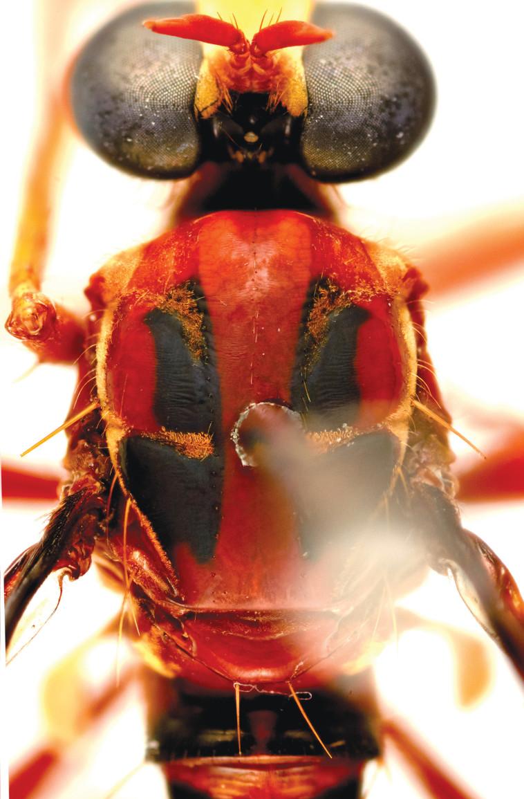 חרק מסוג דדפול (צילום: CRISO)