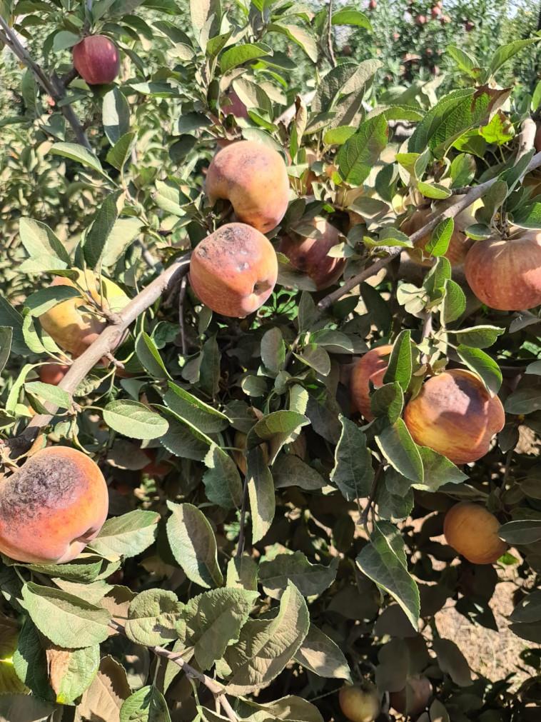 תפוחי סטארקינג אדומים ברמת הגולן (צילום: מוחמד בשיר)