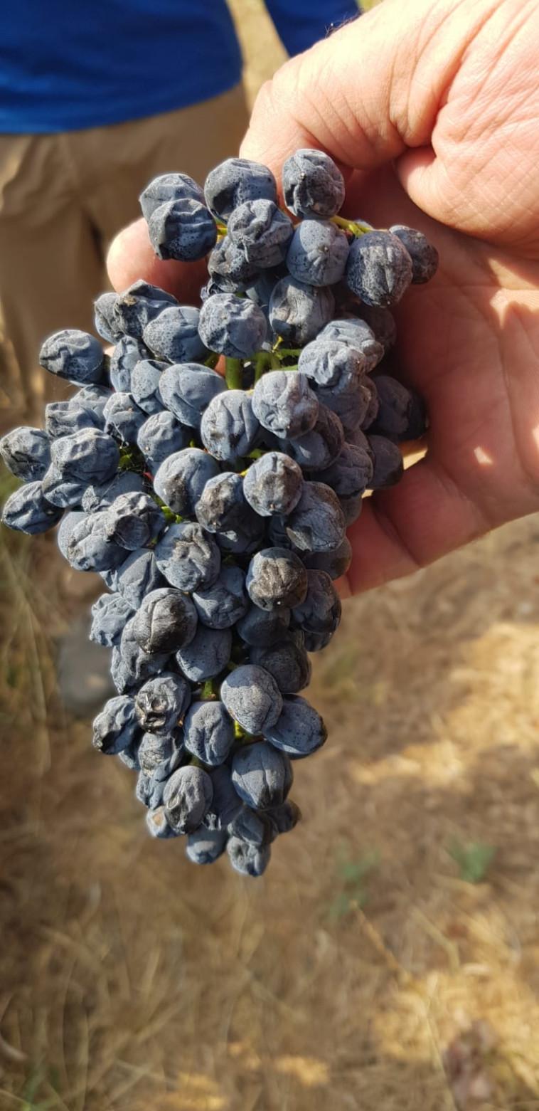 ענבי יין שנפגעו באזור בן שמן (צילום: אפי אברהם)