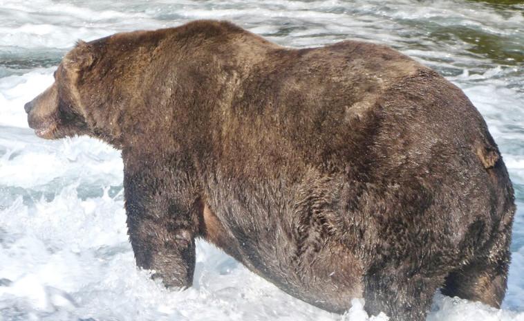 הדוב השמן ביותר באלסקה (צילום: Katmai National Park and Preserve)
