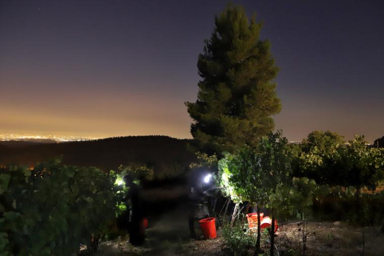 בציר בכרם צרעה, הרי יהודה  (צילום: באדיבות היקב )