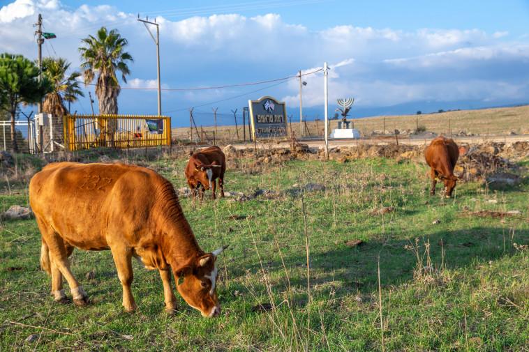 פרות ברמת טראמפ (צילום: יוסי אלוני)