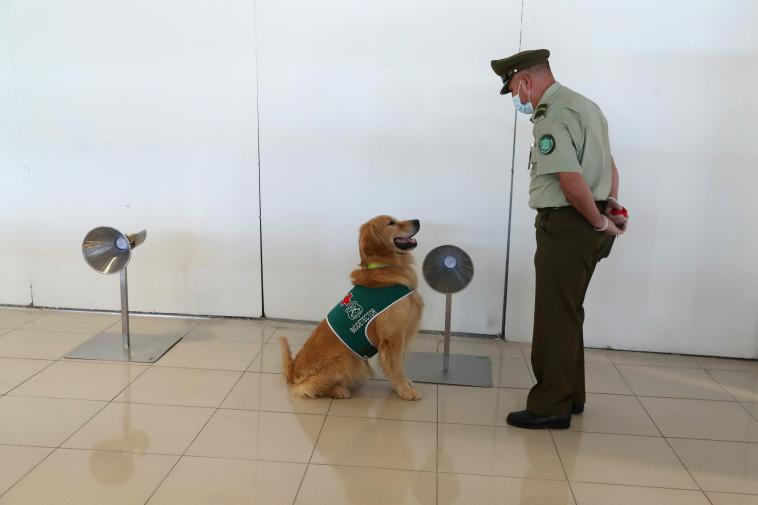 הכלבים מתאמנים כדי לזהות את הנגיף (צילום: רויטרס)