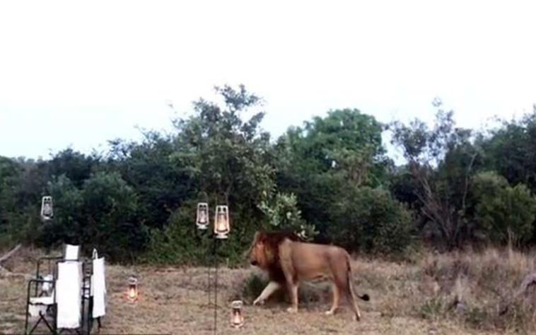 האריה משוטט ביום ההולדת  (צילום: רשתות חברתיות)