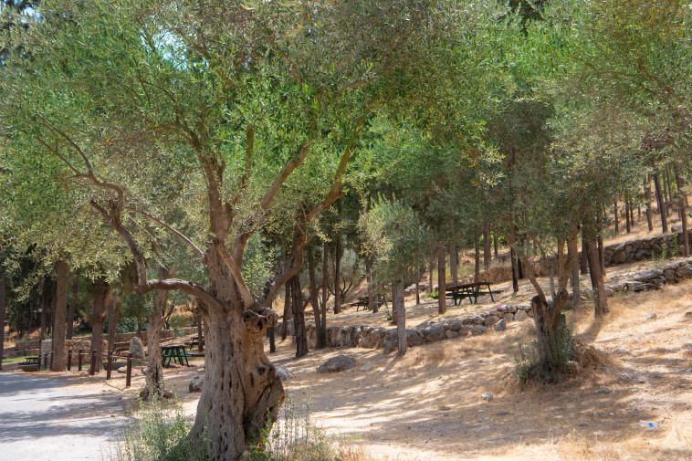 חניון בצל הזיתים (צילום: אבי חיון)