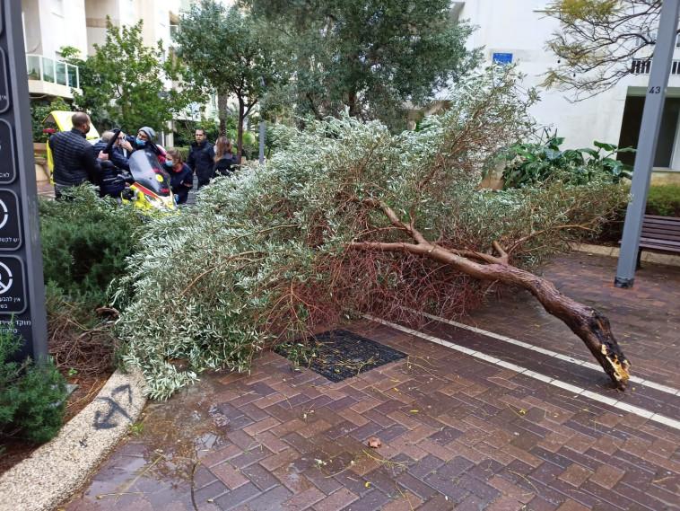 עץ נפל על אדם בתל אביב (צילום: מד''א)