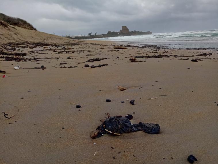 זפת בחוף הים (צילום: שרון עדי ודן בירון, המשרד להגנת הסביבה)