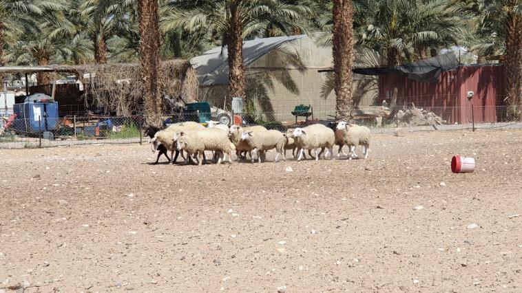 פעילות רעיית כבשים (צילום: מיטל שרעבי)