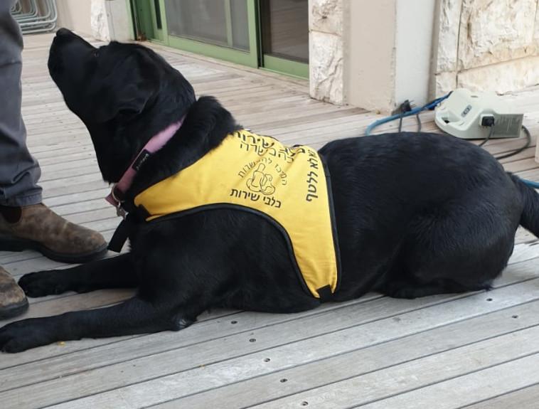 כלבת שירות במהלך אימון הכשרה (צילום: המרכז להכשרת כלבי שירות)