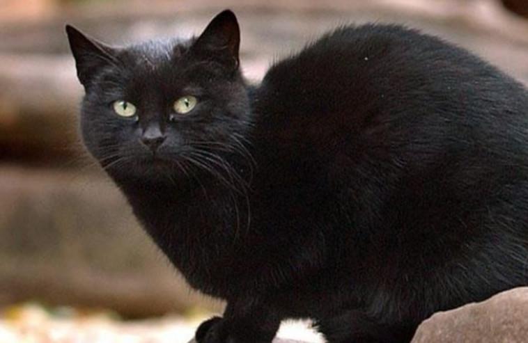 החתול בלאקי  (צילום: Getty images)