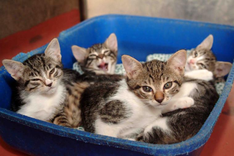 חתולים (צילום: חיים שוורצנברג)