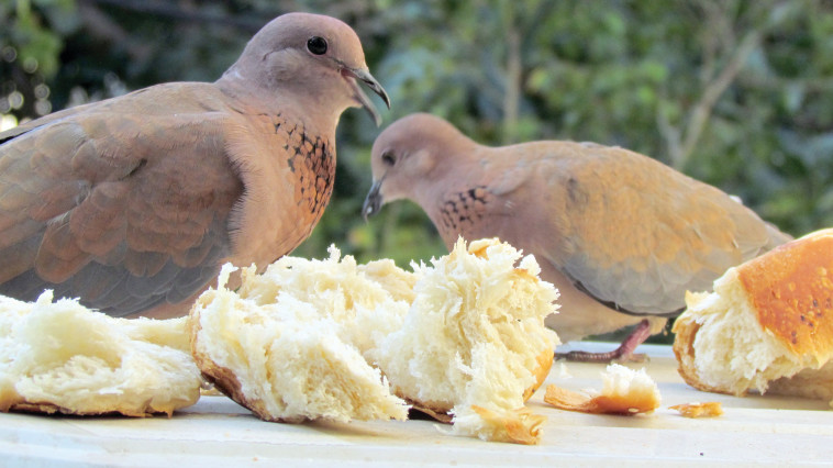 הפרשת החלה השבועית לציפורים (צילום: נתן זהבי)
