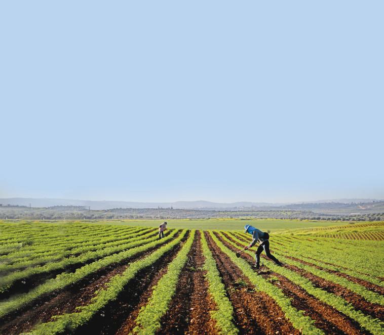 חקלאים בעמק האלה (צילום: יעקב לדרמן, פלאש 90)