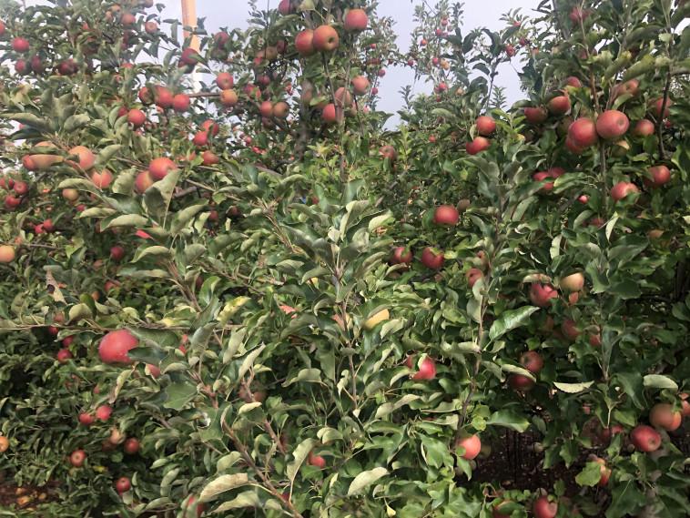 מטע תפוחים (צילום: יעל שביט)