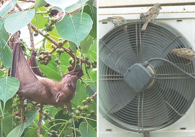דרורים ועטלף פירות (צילום: נתן זהבי)